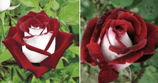 This Rare Rose Has Both Red And White Petals And It'll Light Up Your Garden